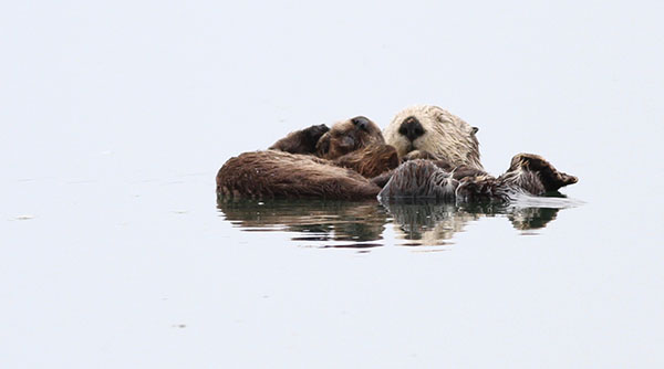 Sea Otter Mother and Pup Float and Nap Together