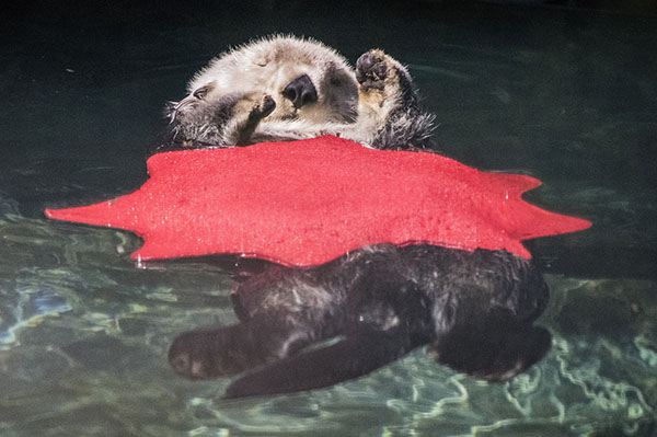 Sea Otter Naps with a Makeshift Blanket