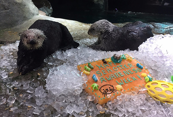 Sea Otters Celebrate Another Great Sea Otter Awareness Week