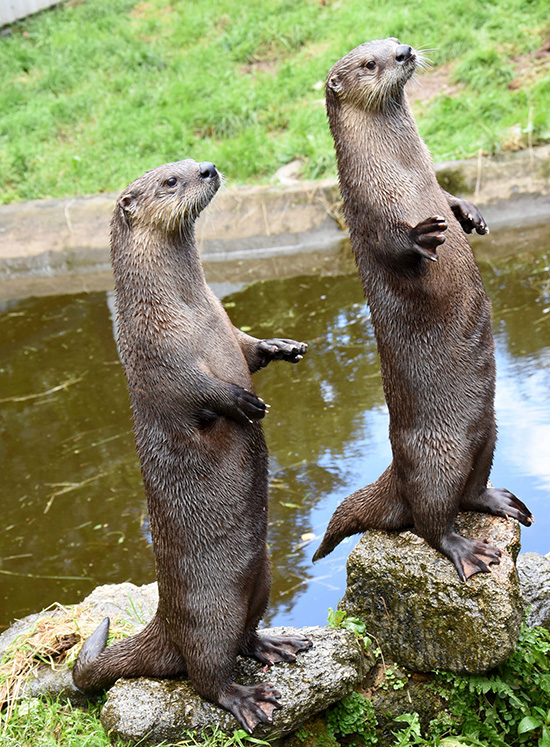 It Appears Otters Are Ready for Feeding Time