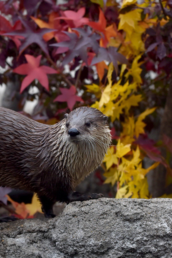 Otter Goes for a Leisurely Walk Among the Autumn Foliage