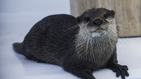 Otter Poses So Sweetly for a Photo