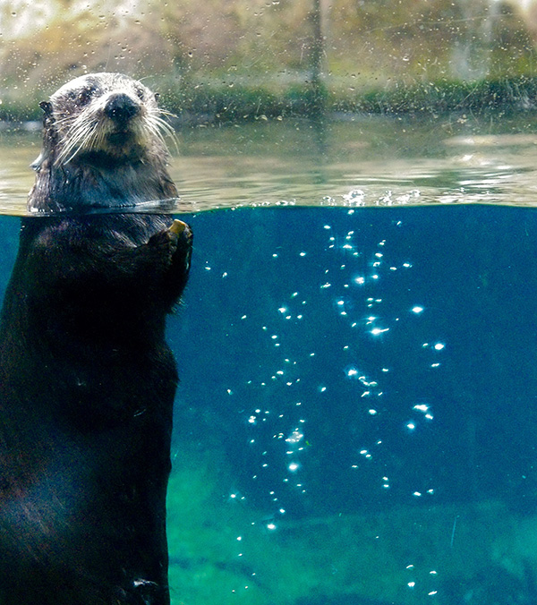Sea Otter Bobs Upright