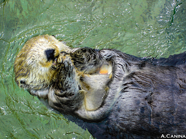 Sea Otter Indulges in a Tasty Snack