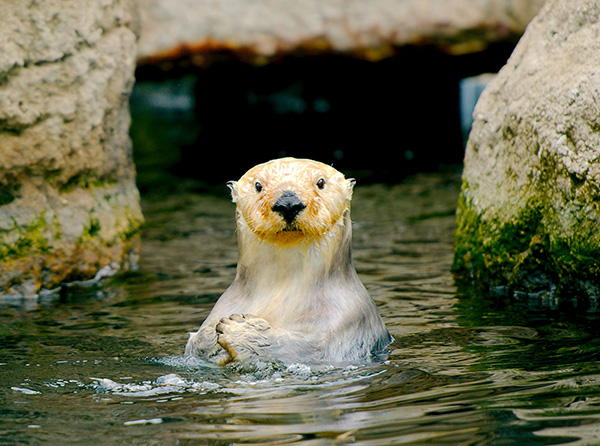 Sea Otter Looks at the Camera Expectantly