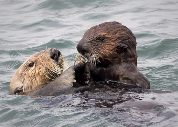 Sea Otter Mother Shares a Snack with Her Pup