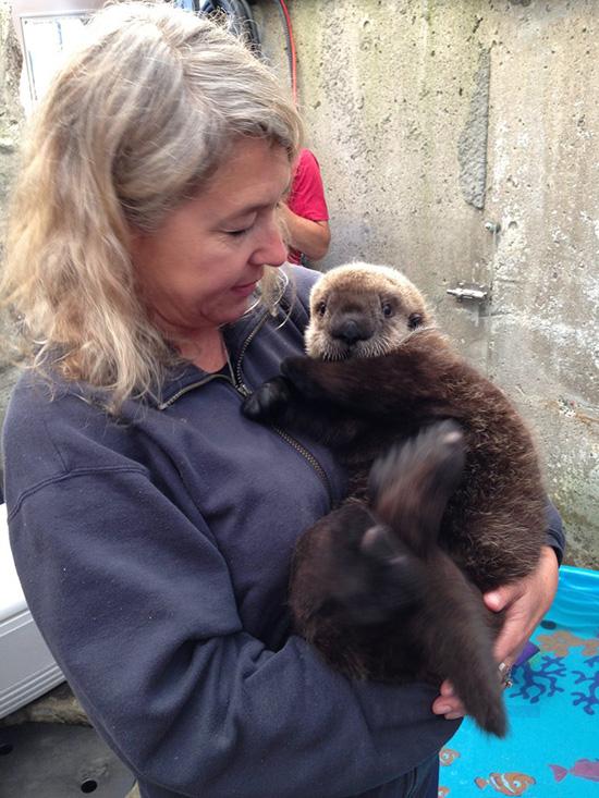 Sea Otter Pup Rialto Likes This Human 1