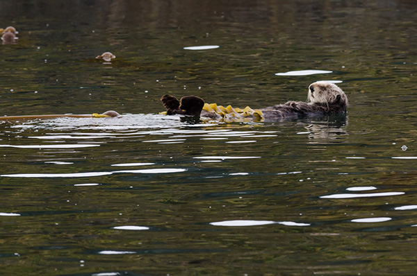 Sea Otter's All Tied Up at the Moment