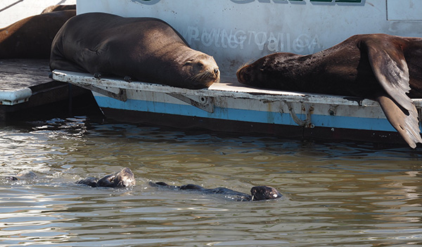 Sea Otters Float Over to Say Hi to Their Sea Lion Pals