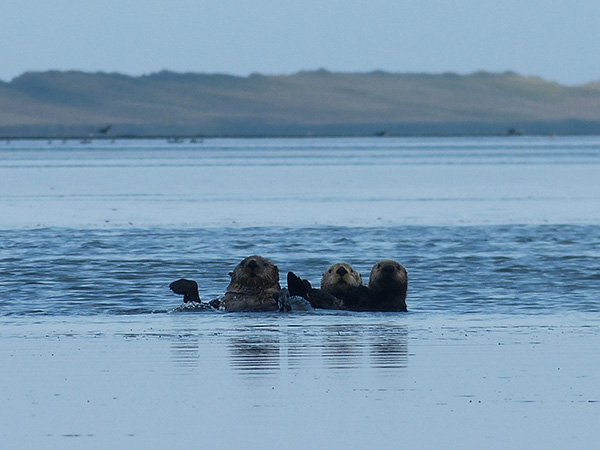 Sea Otters Have Spotted the Photographer!