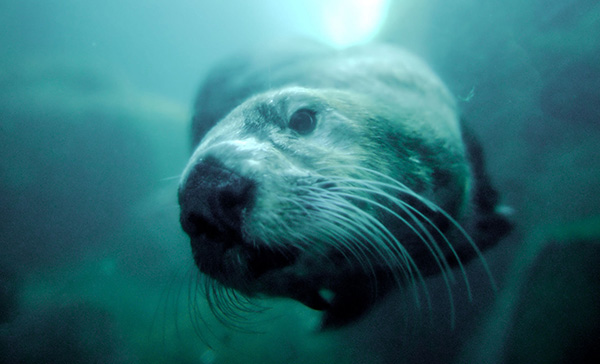 Underwater Sea Otter Closeup