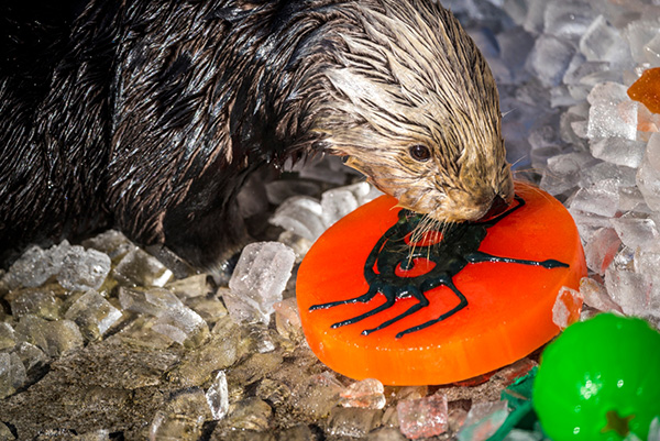 Monterey Bay Aquarium's Sea Otters Had a Great Halloween 2