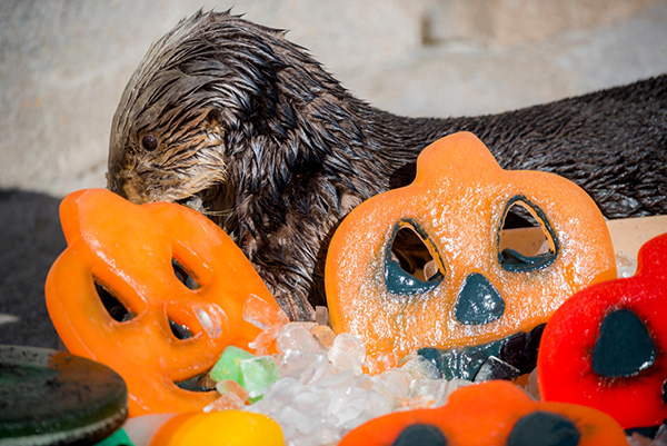 Monterey Bay Aquarium's Sea Otters Had a Great Halloween 3
