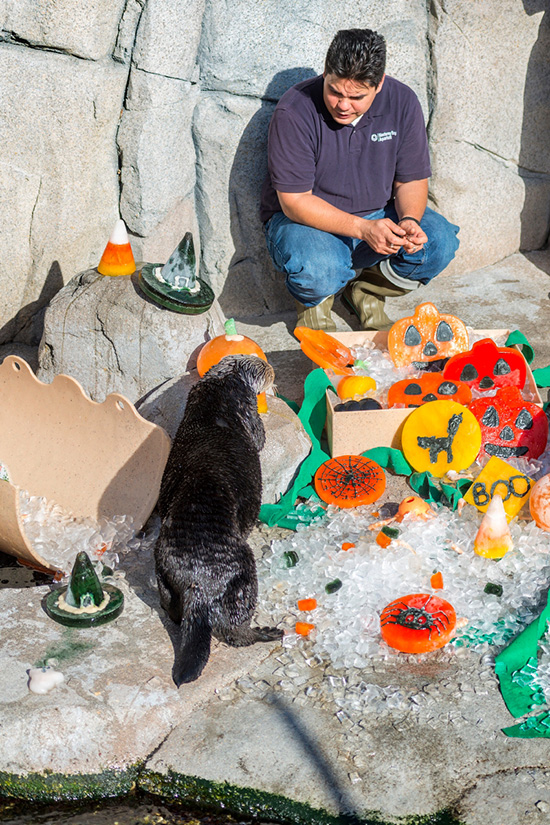 Monterey Bay Aquarium's Sea Otters Had a Great Halloween 4