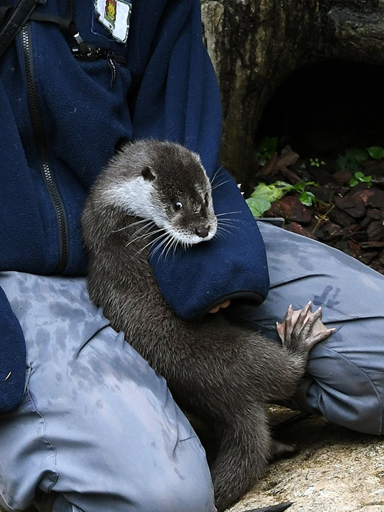Otter Gets in Some Cuddle Time with Human