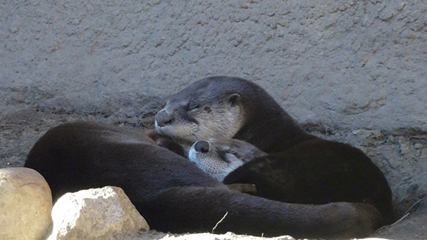 Otters Curl Up Contentedly for a Nap