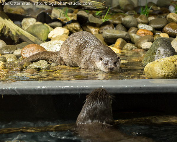 Otter's Ready to Pounce on His Friend, in Three... Two...