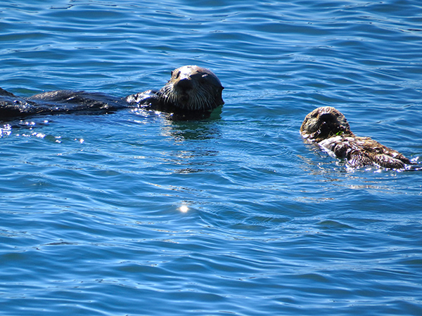 Sea Otter Pup Gets a Little Floating Practice with Mom
