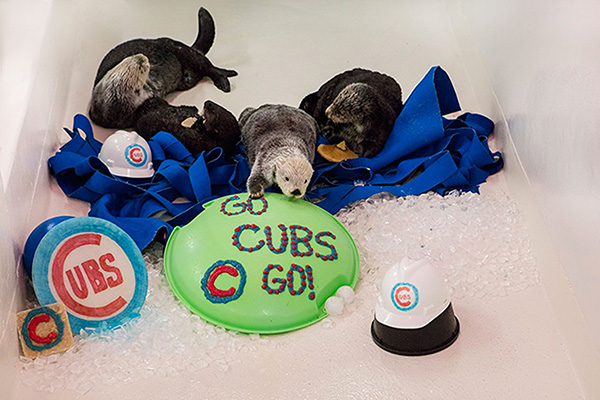 Shedd Aquarium's Sea Otters Support Their City's Baseball Team 1