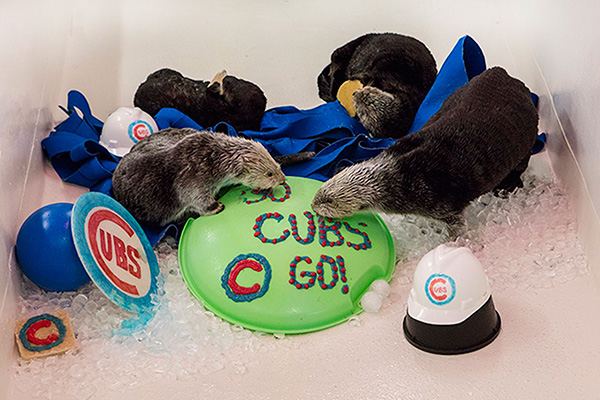 Shedd Aquarium's Sea Otters Support Their City's Baseball Team 2