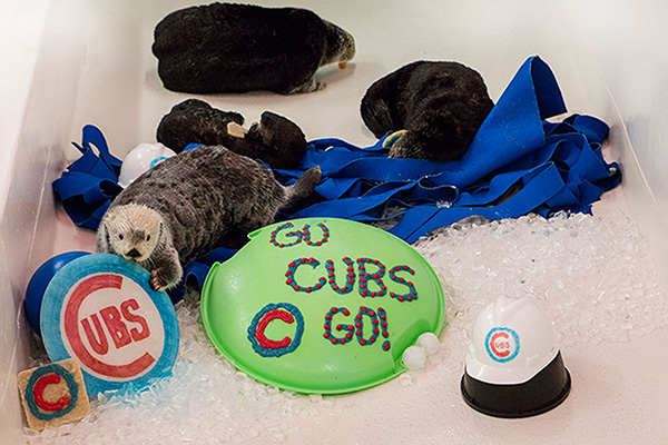 Shedd Aquarium's Sea Otters Support Their City's Baseball Team 3