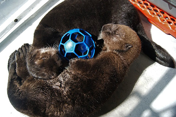 Vancouver Aquarium Has Taken in Another Two Sea Otter Pups! 1