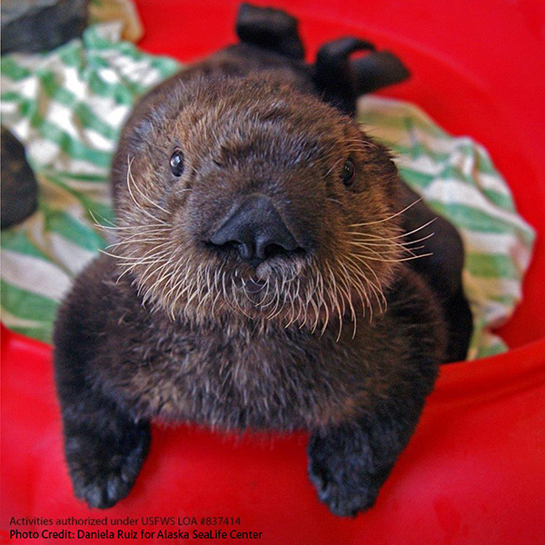 Vancouver Aquarium Has Taken in Another Two Sea Otter Pups! 2