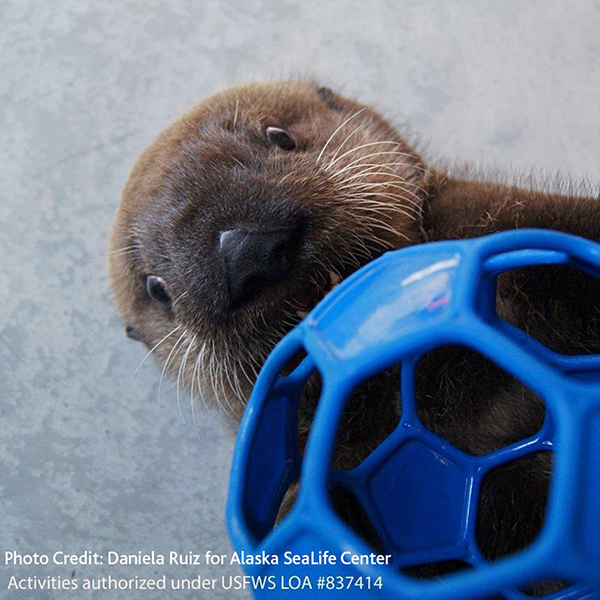Vancouver Aquarium Has Taken in Another Two Sea Otter Pups! 3