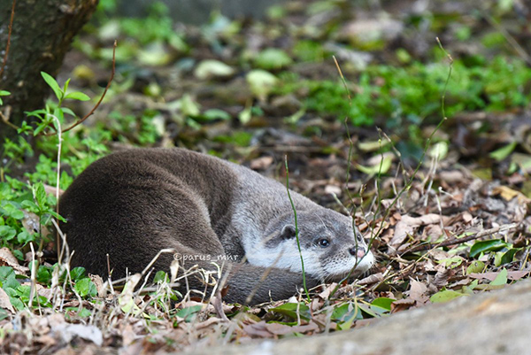 Contented Otter Curls Up and Relaxes