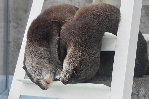 Melting Otters