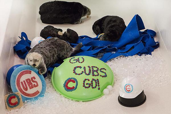 Shedd Aquarium's Sea Otters Root on Their Team 1