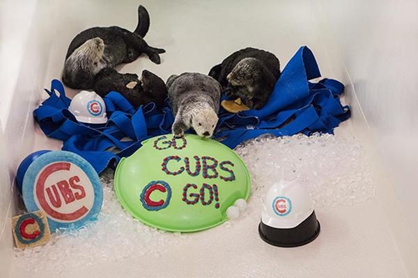 Shedd Aquarium's Sea Otters Root on Their Team 2