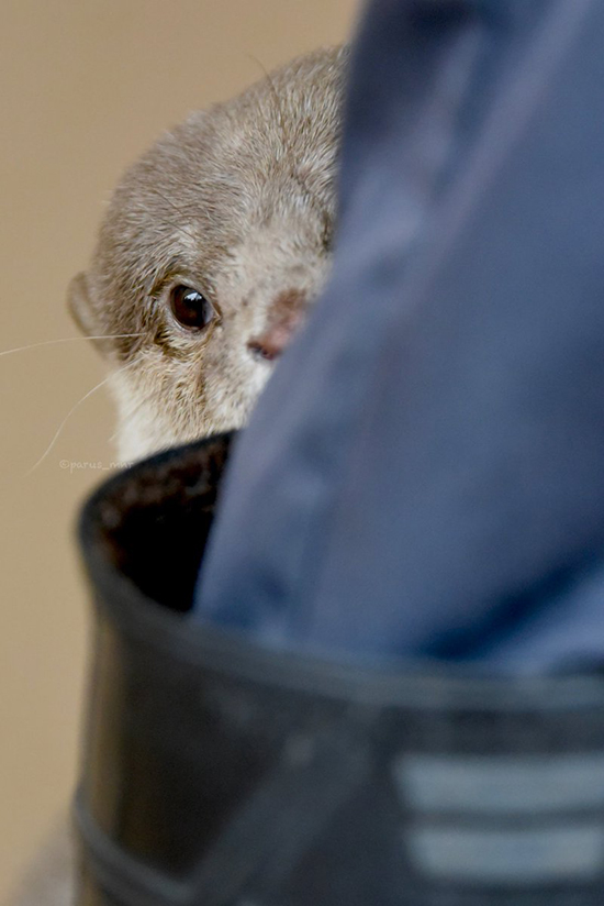 Otter Shyly Hides Behind Human's Boot
