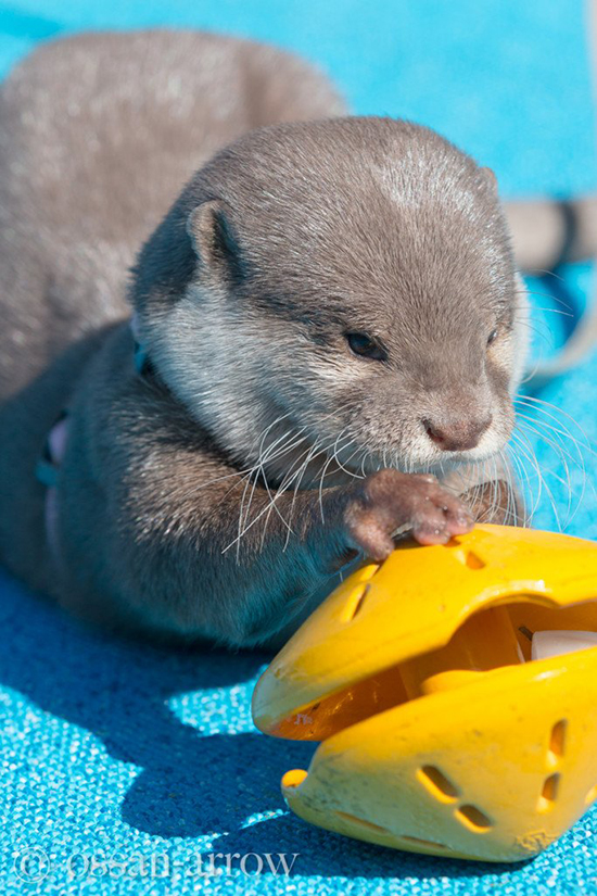 Otter Concentrates on a Puzzle Toy