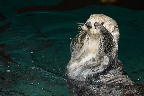 Sea Otter Can Vogue