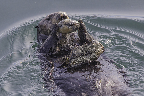 Sea Otter Uses a Rock to Open a Shell for a Snack