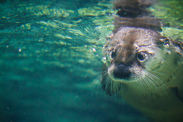 Here Comes Underwater Otter!