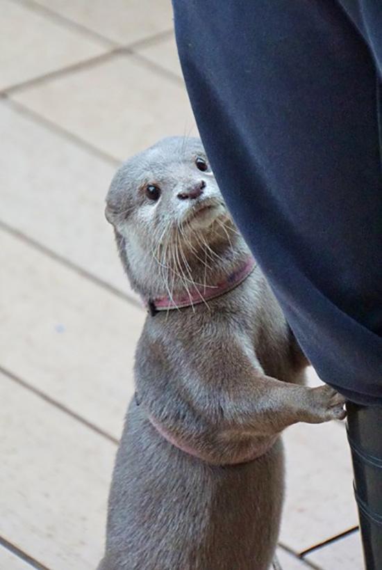Shy Otter Hides Behind Human's Leg