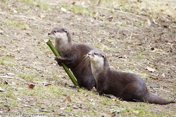 Otter Has a Walking Stick