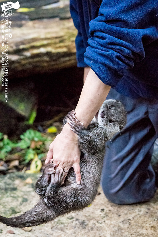 Otter Loses Her Grip on Human's Arm 1