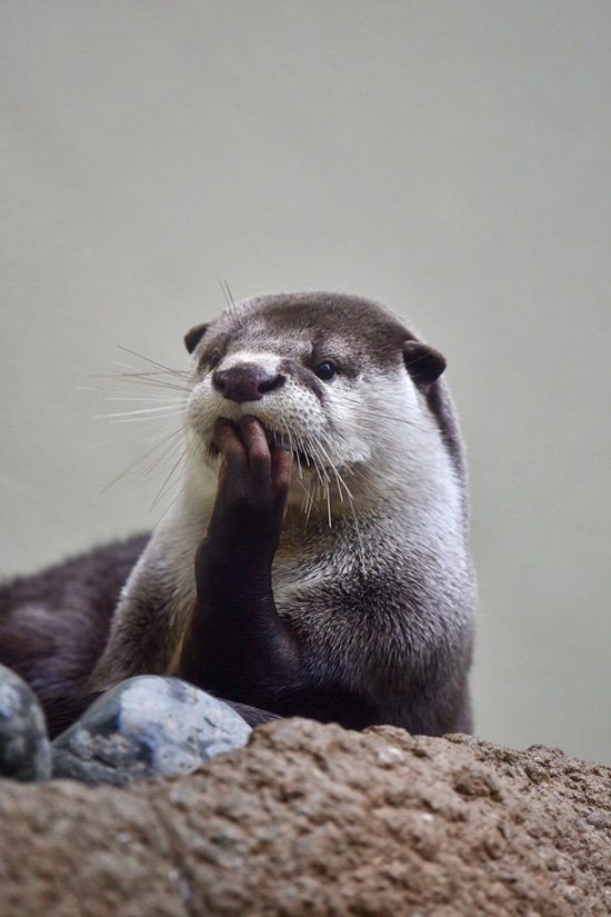 Otter Is Deeply Absorbed in Thought