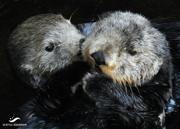 Sea Otters Get Cuddly