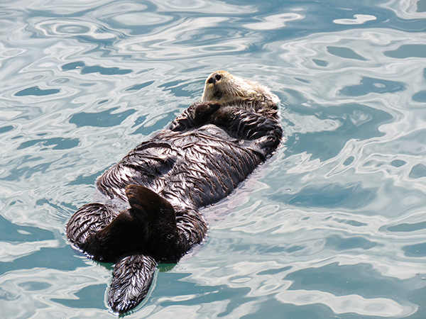 Sea Otter Has a Peaceful Floating Snooze