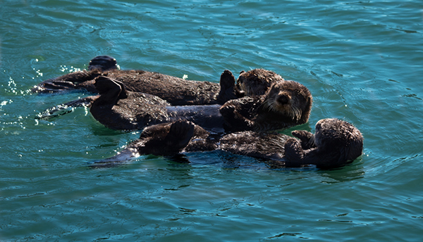 Three Is Definitely Not a Crowd When It Comes to Sea Otters