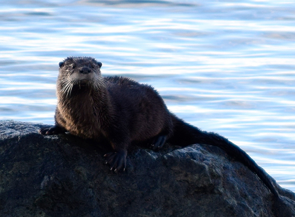 Otter Takes a Swimming Break to Dry Off on a Rock