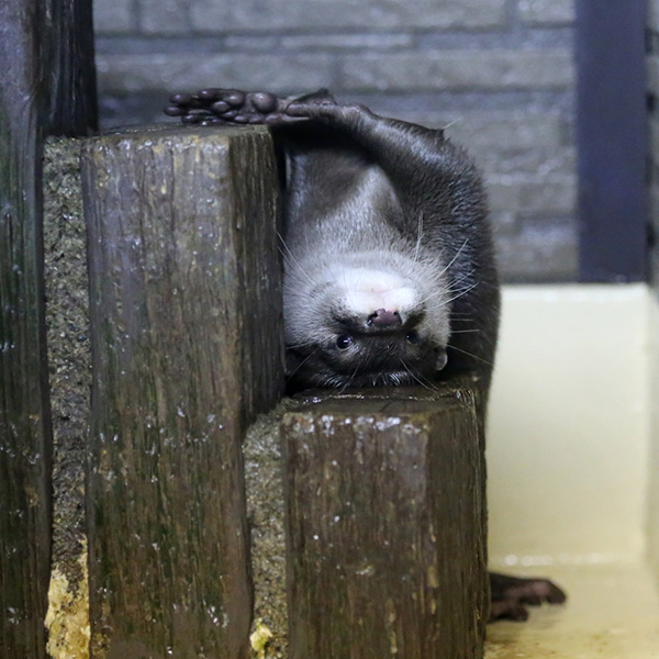 Skilled in Interpretive Dance, Otter Attempts to BE the Steps