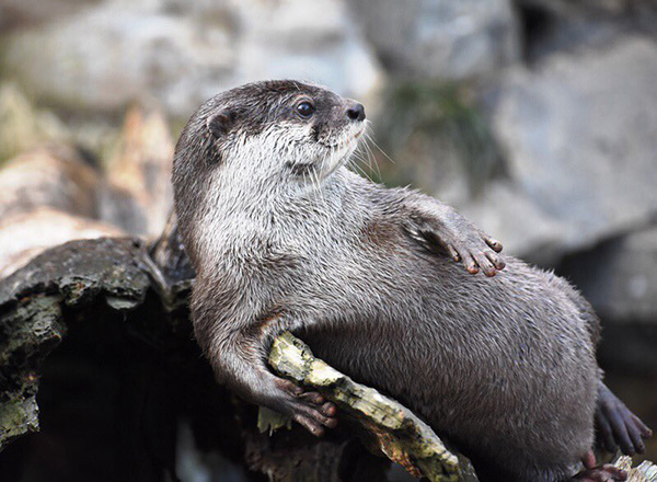 Otter Acts Natural