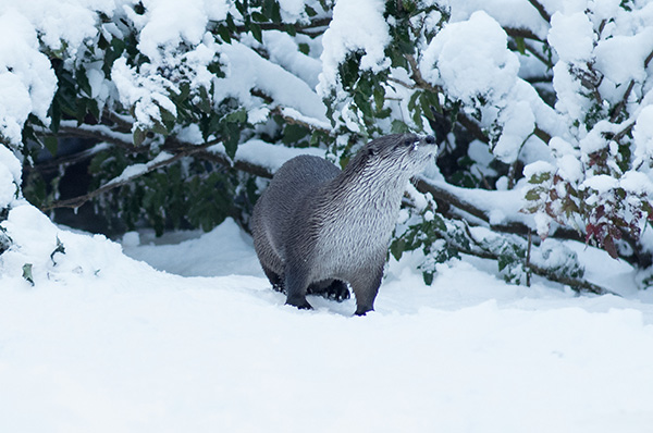 Otter Surveys His Snowy Domain