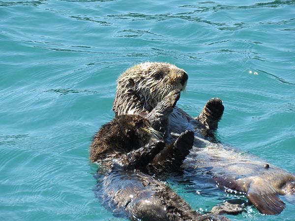 Sea Otter Pup Mimics His Mother