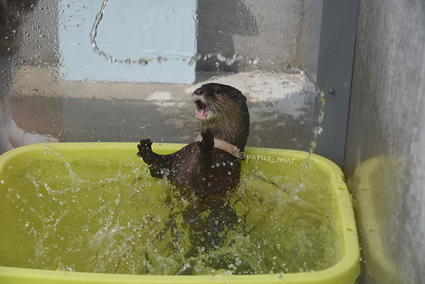 Otter Gets Very Excited About Water 1